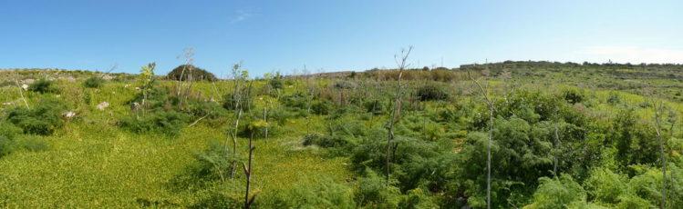 Saftige grüne Flora auf Comino im Mittelteil der Insel