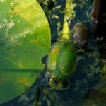 Zwerg-Wasserlinse