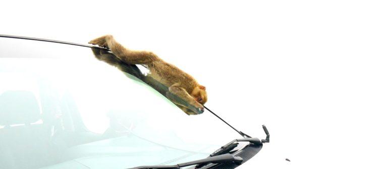 Ein Affe der auf einem Auto runter rutscht auf Gibraltar