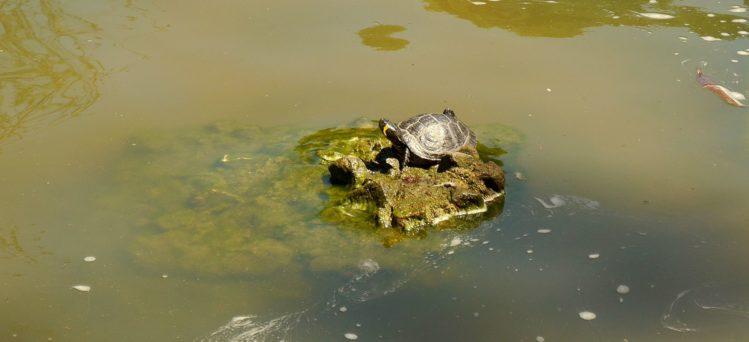 Wasserschildkröte im Retiro Park