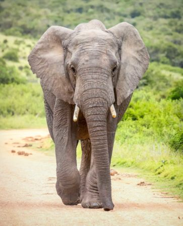 Elefant in Addo Nationalpark