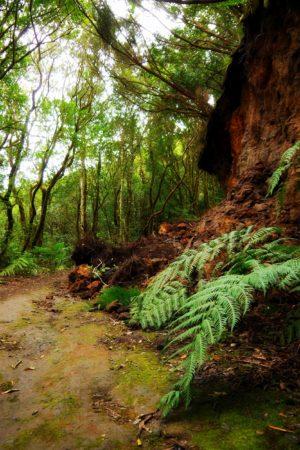 Farne im Urwald von Chinobre auf Teneriffa