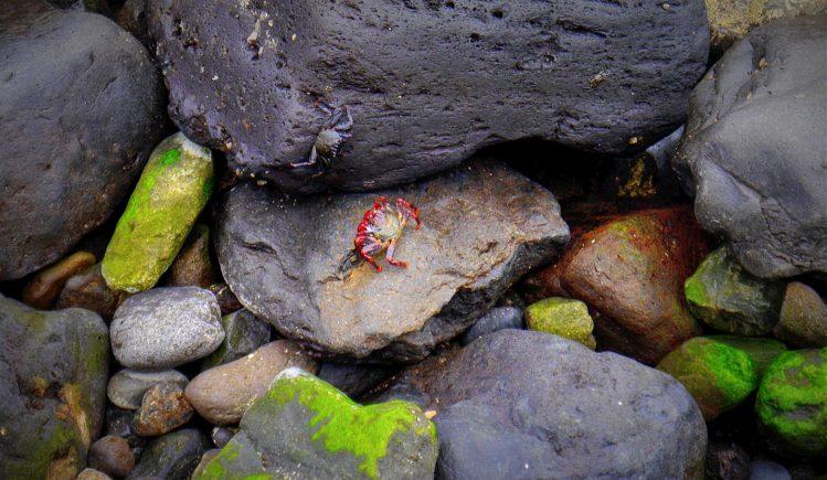 Rote und schwarze Krabbe in San Juan la Rambla auf Teneriffa