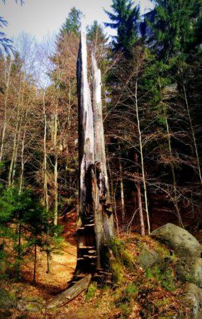 Vertrockneter Baumstamm am Begangsteig