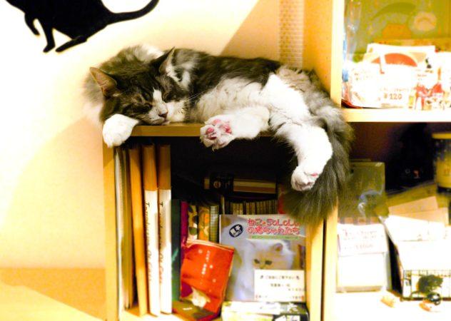 Schlafende Katze auf einem Bücherregal