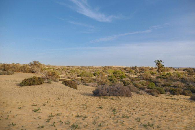 Palme in den Dünen von Maspalomas