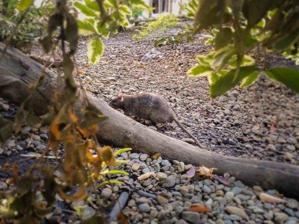 Ratte in Shibuya Grünanlage