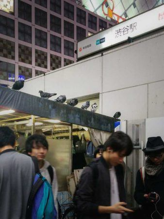 Tauben in Shibuya
