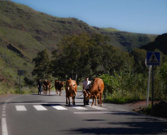 Mann mit 2 Rindern auf einer Straße mit Zebrastreifen