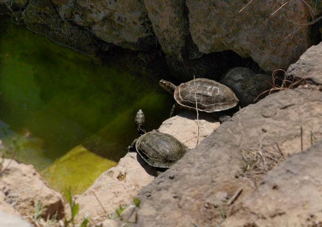 Schildkröten in einem Tümpel