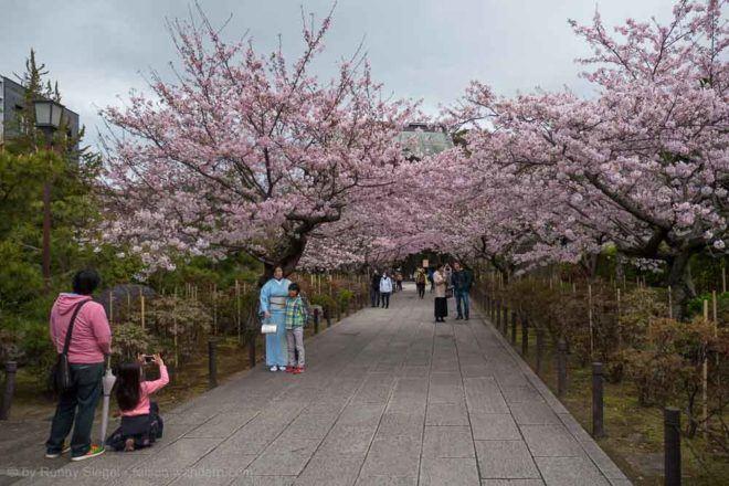 Kirschbäume beim Kenchō-ji Tempel