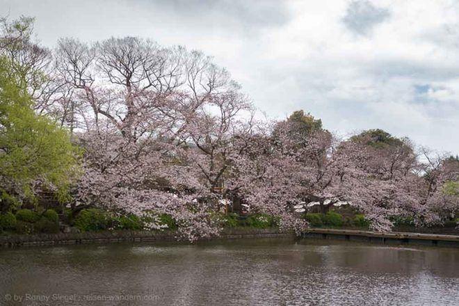 See mit Kirschbäumen beim Tsurugaoka Hachiman-gū Schrein