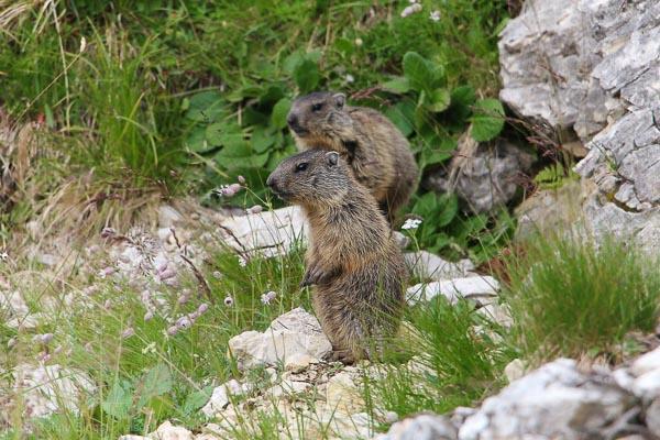 Murmeltiere in den Dolomiten