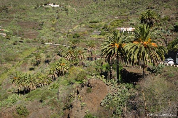Palmen in Masca auf Teneriffa