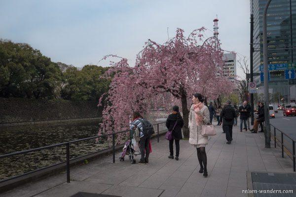 Kirschbaum am Kaiserpalast in Tokio