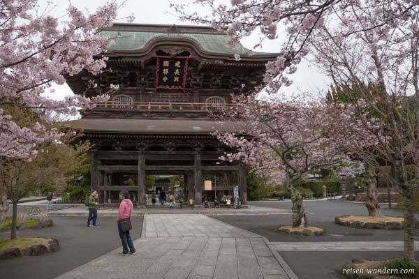 Tempel mit Kirschbäumen in Kamakura