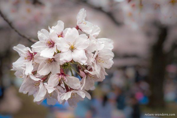 Kirschblüte zu Hanami in Tokio