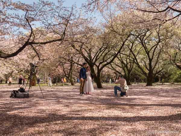 Fotograf zur Kirschblüte mit Paar im Shinjuku Gyoen Park in Tok