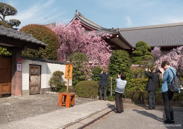 Kirschbaum am Zōjō-ji Tempel