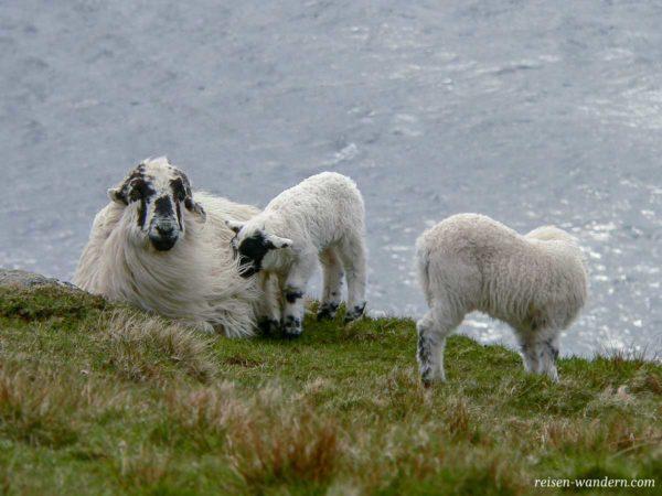 Schafe auf einer Wiese bei den Klippen