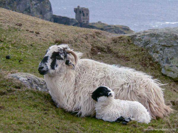 Irische Schafe vor dem Signalturm bei den Klippen