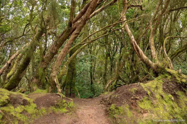 Wanderweg durch einen alten Lorbeerwald
