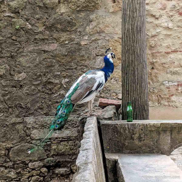 Blauer Pfau in Lissabon