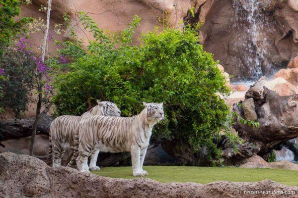 Weiße Tiger im Loro Park bei Puerto de la Cruz
