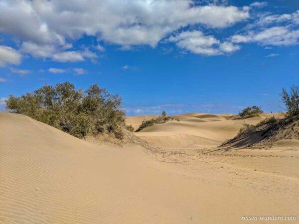 Strauch in den Dünen von Maspalomas