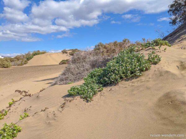 Pflanzen in den Dünen von Maspalomas