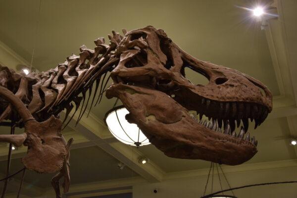 Die Nachbildung eines T-Rex-Skeletts