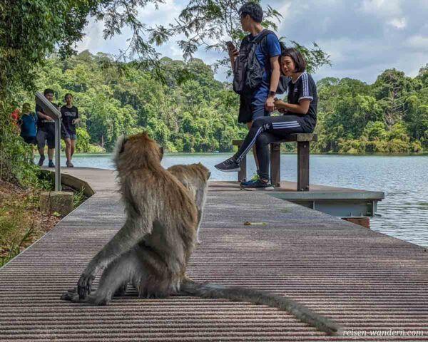 Affen auf Weg im MacRitchie Reservoir