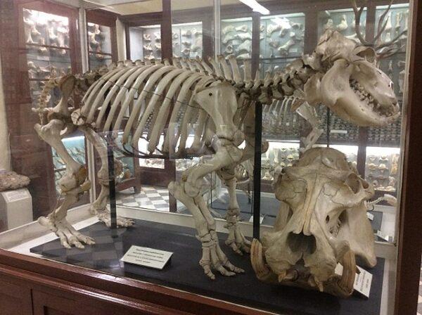 Tierskelett im Museum von Ghar Dalam
