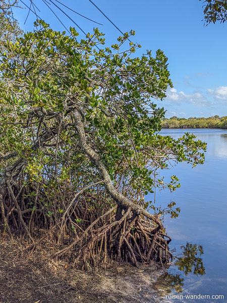Mangrove in Noosa Heads an der Sunshine Coast