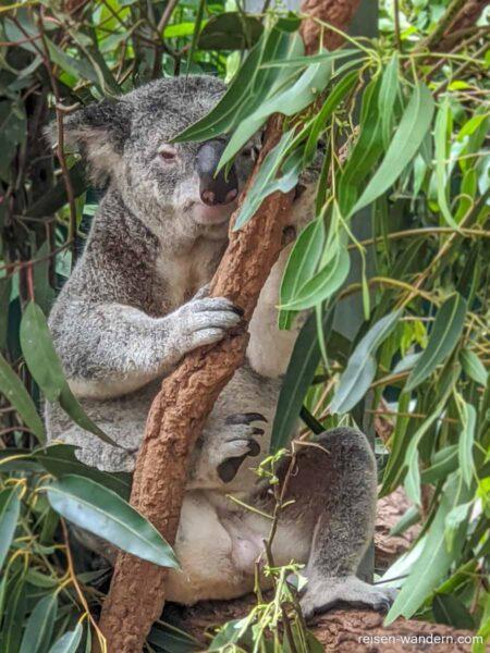 Koala in einem Eukalyptusbaum