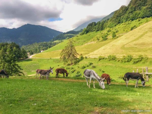 Esel auf einer Weide in den Alpen beim Gardasee