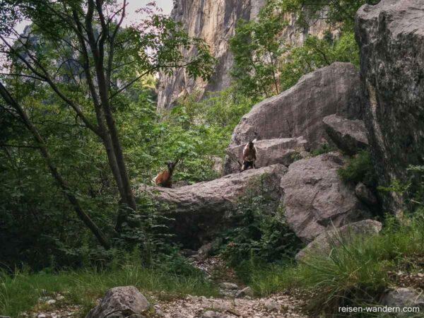 Bergziegen am Colodri