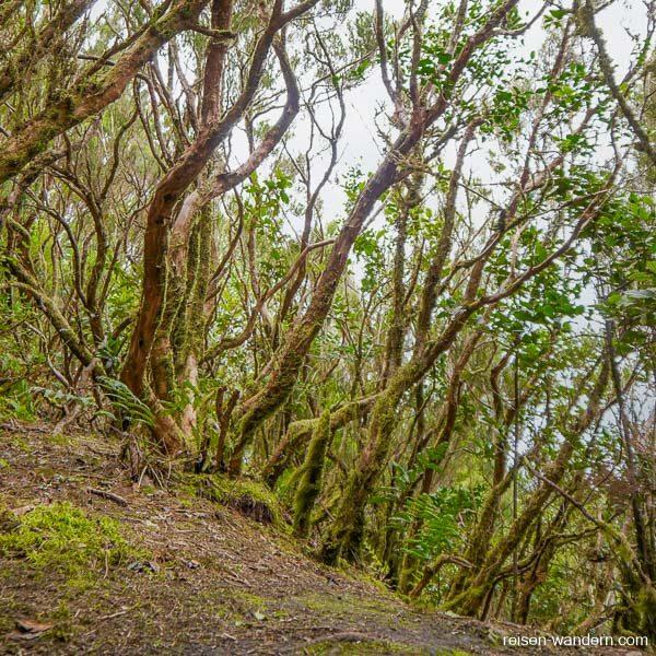Alte märchenhafte Bäume im Urwald von Chinobre