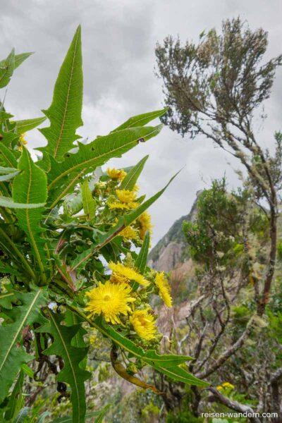 Blumen im Anaga Gebirge auf Teneriffa