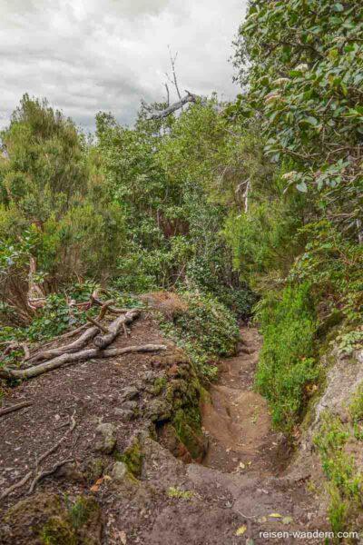 Lehmwanderweg mit Stufen im Nebelurwald von Chinobre
