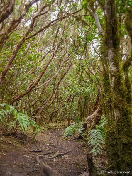 Alte Bäume im Urwald von Chinobre