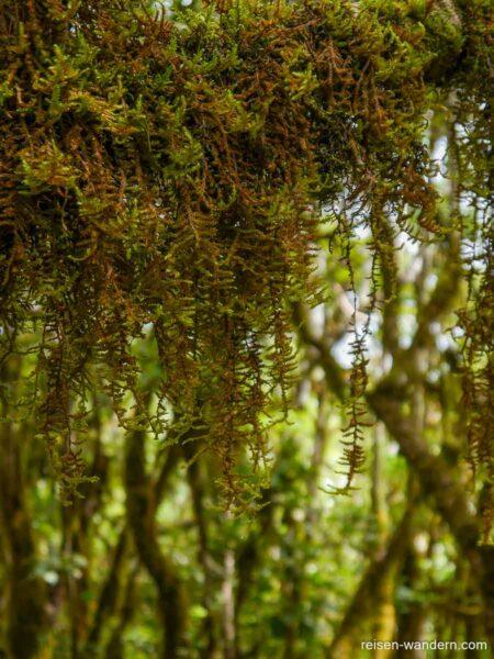 Hängende Moospflanzen im Urwald von Chinobre