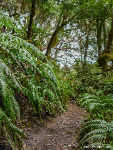 Urwald mit Farnen im Anaga Gebirge auf Teneriffa