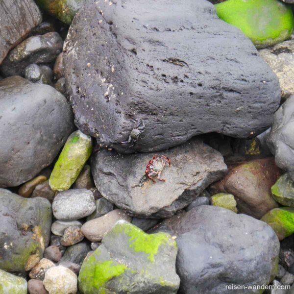 Rote und schwarze Krabbe auf Teneriffa