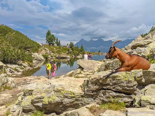 Bergziege auf einem Stein am Spiegelsee